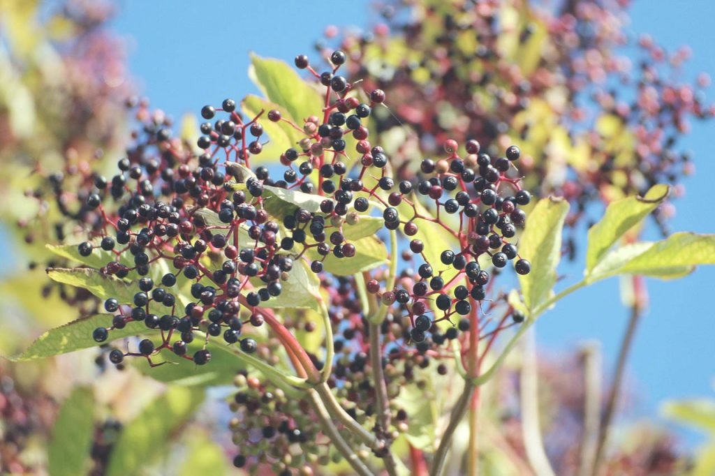 Endrino de otoño: propiedades y aplicación.