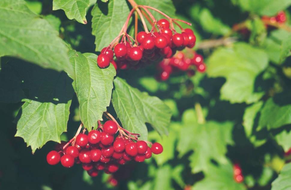 Frutas saludables de viburnum - propiedades