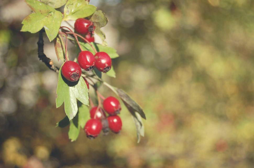 Frutos de espino recolectados en el otoño