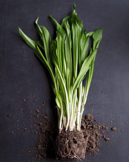 Ajo silvestre: cultivo, propiedades y las recetas más interesantes.