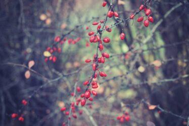Frutas agracejo - propiedades y aplicación